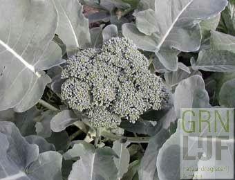 Broccoli zaden EKO