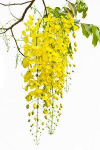 Cassia (chinese kaneel) etherische olie