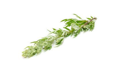 Bijvoet (artemisia) etherische olie