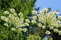 etherische olie Angelica sinensis