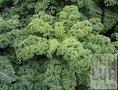 Boerenkool-zaden-demeter-(bio-dynamisch)