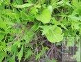 Musclun-Azia-(zadenmengsel-kiemplanten)-EKO