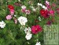 Cosmea-zaden-demeter-(bio-dynamisch)