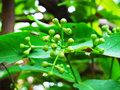 Kruidnagel blad etherische olie